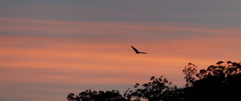 Sea eagle at dawn long small
