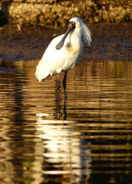 Royal spoonbill with breeding plumage