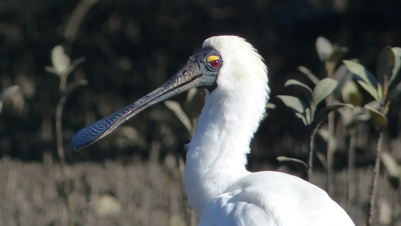 Spoonbill looking back good portrait 2 wide