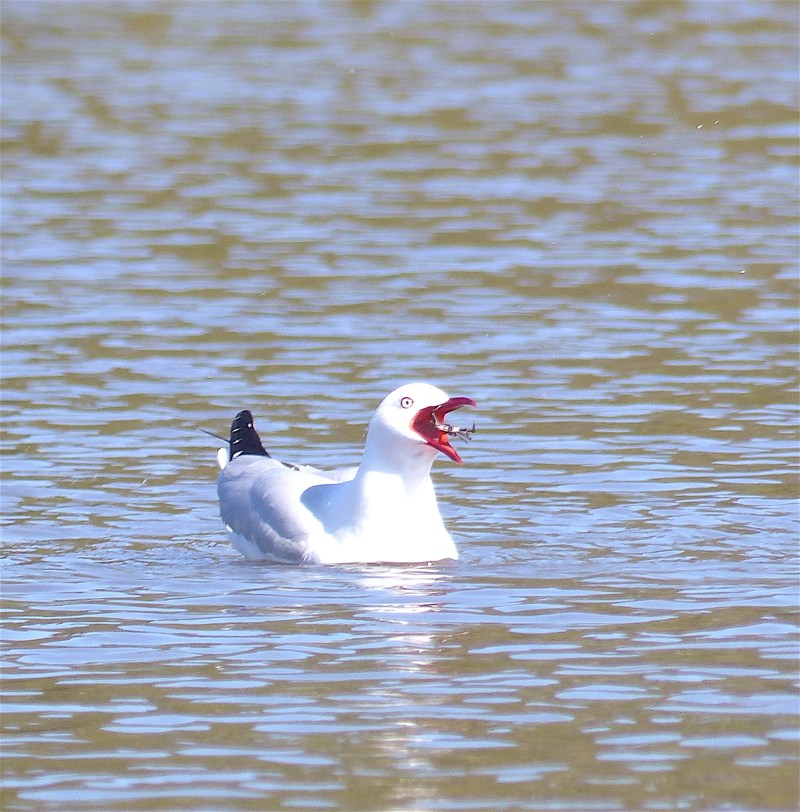 Silver gull with crab square amend