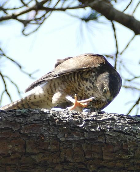 Fledgling sparrowhawk still aspiring to elegance