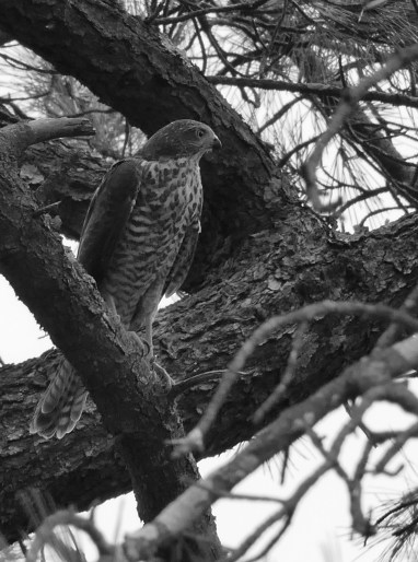 Young sparrowhawk in hunting position
