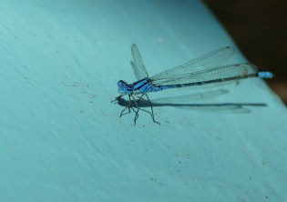 One of many dragonflies