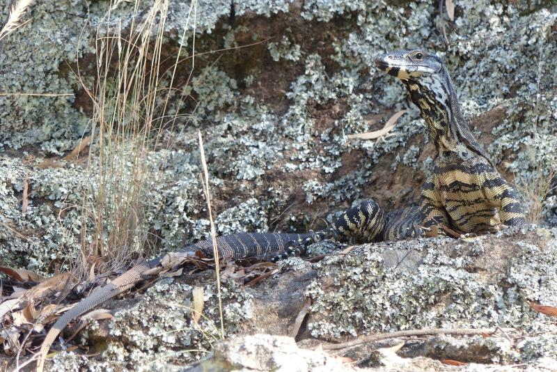 Goanna whole against lichen