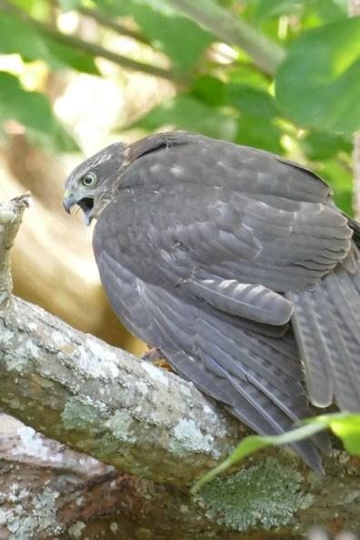 Juvenile sparrowhawk protecting its prey