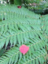 Bleeding heart leaf on a treefern Cyathea Cooperii