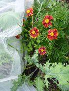 Naughty Marietta marigolds and kale