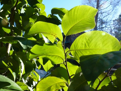 Custard pple leaves