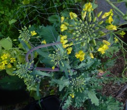 Kale going to seed