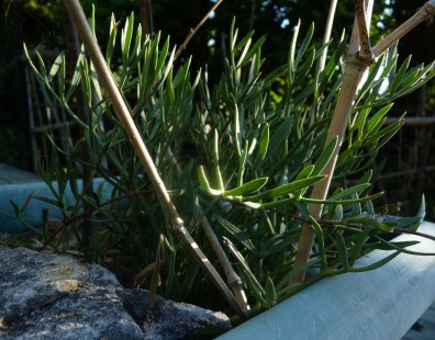 Rock samphire - sticks and stones may break your bones but they also discourage visits from possums and chickens