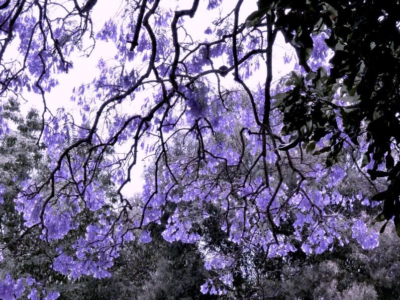The rhizomatic city of jacarandas