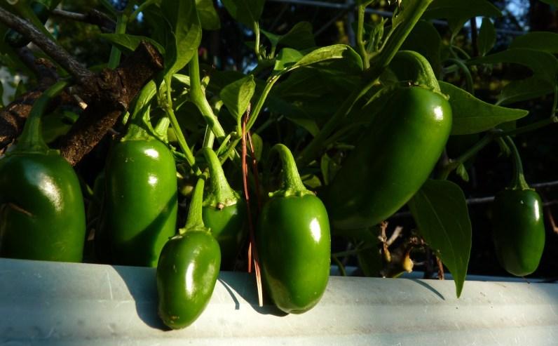 jalapenos 2 crop