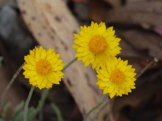 Paper daisies.