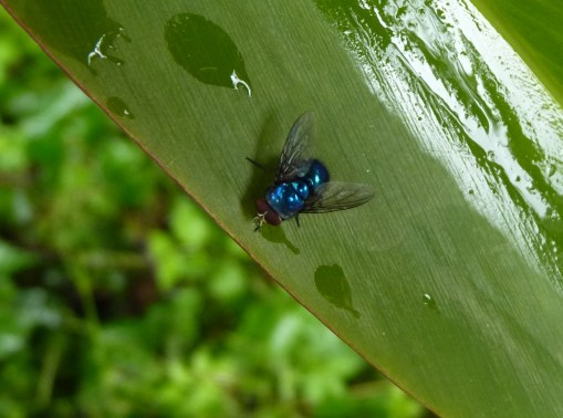 Blue fly on native ginger