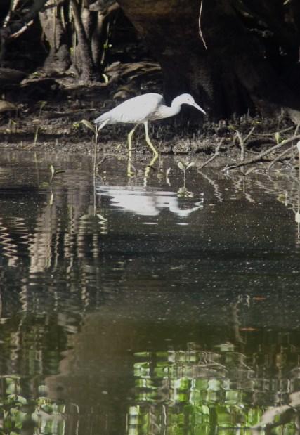 White faced heron fishing
