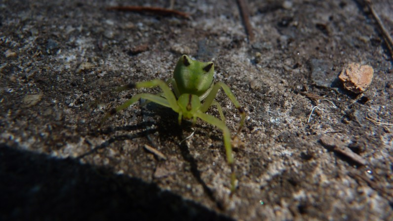 Lots of these tiny green pseudospiders in the garden