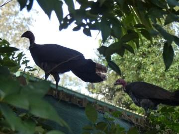 Brush turkeys on pool fence