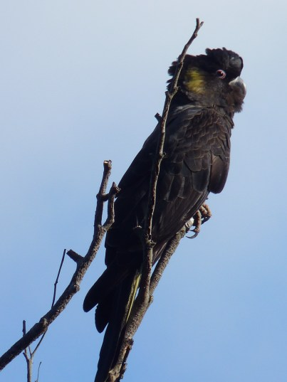 Yellow tailed black cockatoo enjoying a dead tree at our place