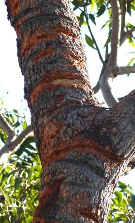 Cockatoo macerated tree