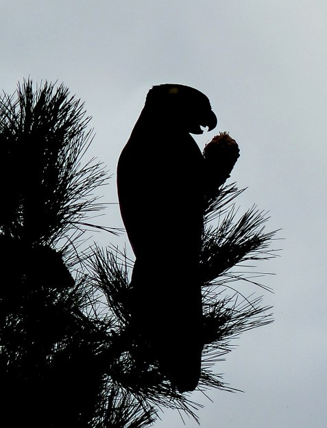 Silhouette of a yellow tailed black cockatoo