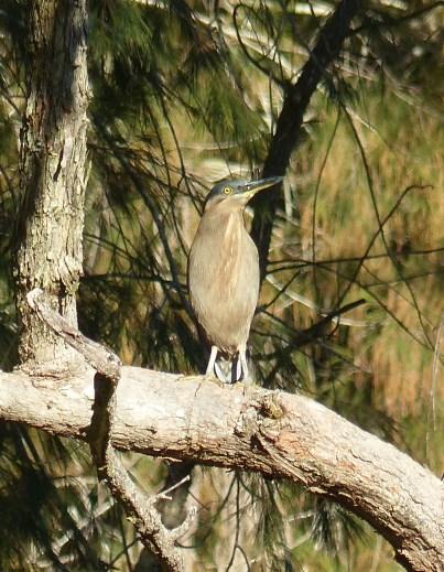 Striated heron http://birdlife.org.au/bird-profile/striated-heron