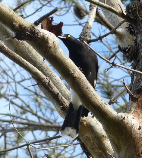 Pied currawong with destruction on its mind