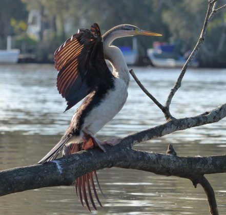 Female Australasian darter