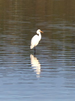 Intermediate egret in Narrabeen Lagoon