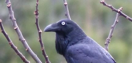 Raven staring horizontal 2