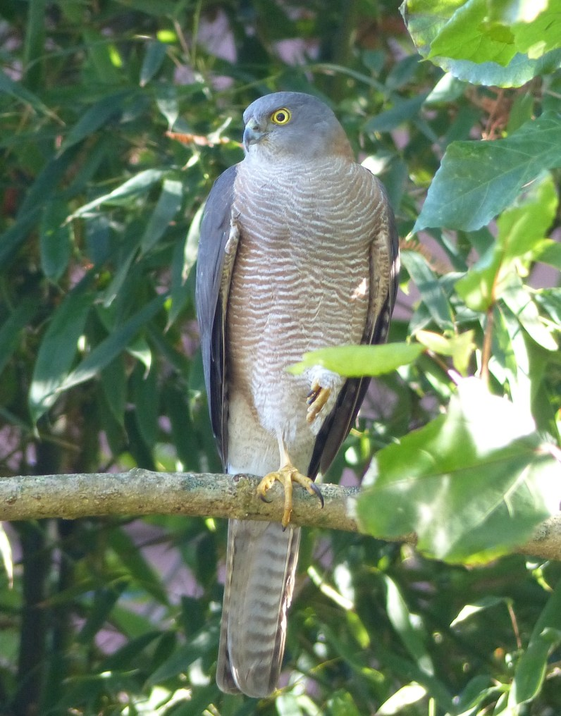 Female collared sparrowhawk