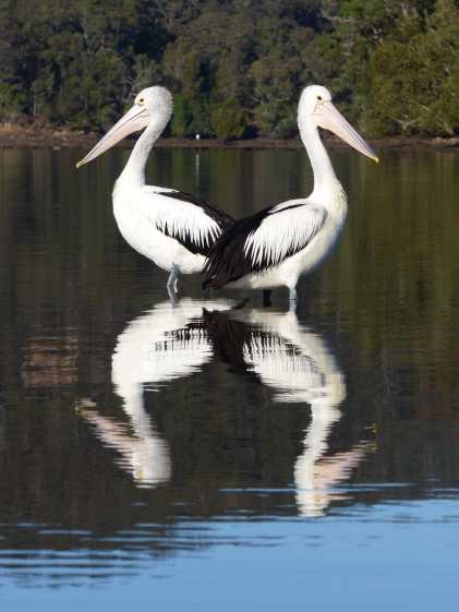 Pelicans Symmetrical 1 small