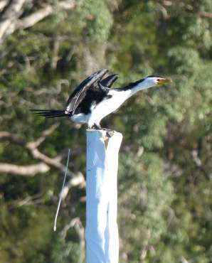 Pied cormorant telling me what it thinks of being stalked by a kayaker with a camera