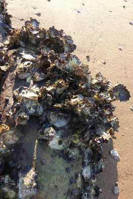 Oysters on the beach in Brisbane Water National Park