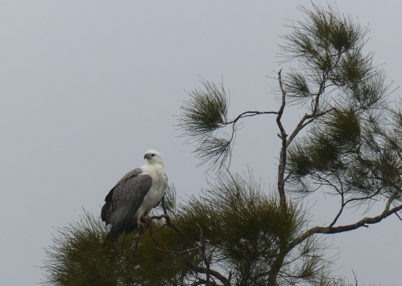 Sea eagle at Mangrove Creek