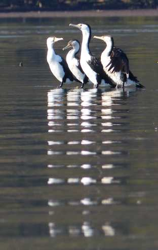 Pied cormorants on an oyster lease