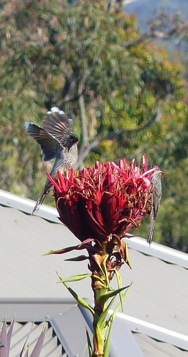 Two wattlebirds on one gymea lily flower