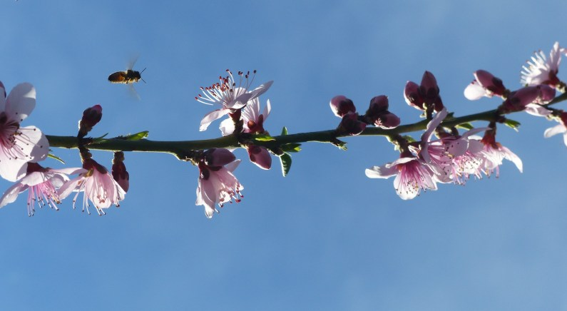 Tropic snow peach blossom - a month or so ago
