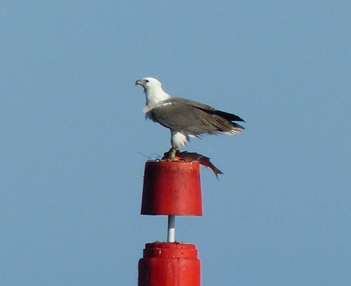 Sea eagle retreating to a pole to eat its fish