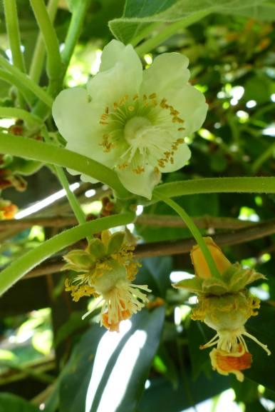 Female kiwifruit