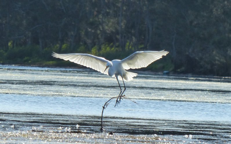 Greater egret coming in to land