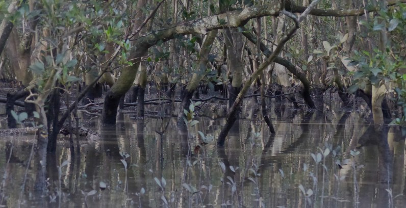 Grey mangroves at half tide