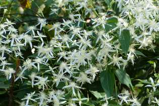 Clematis aristata (earlier in the year)