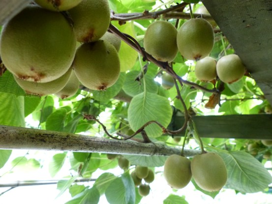 The laden kiwifruit arbor