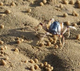 Blue soldier crab
