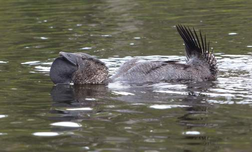 Musk duck courtship display