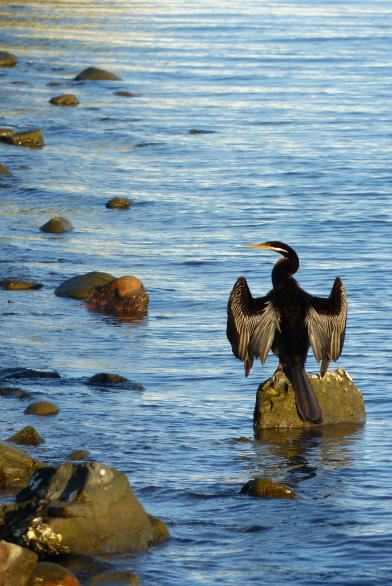 Male darter at Speers Point