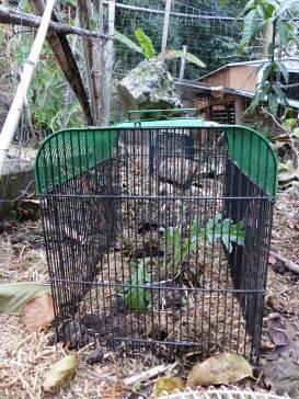 Artichoke seedling in a birdcage