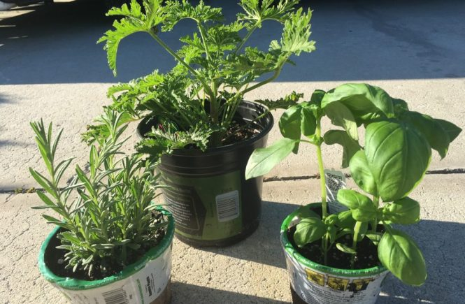 Lavender Citronella and Sweet Basil Plants