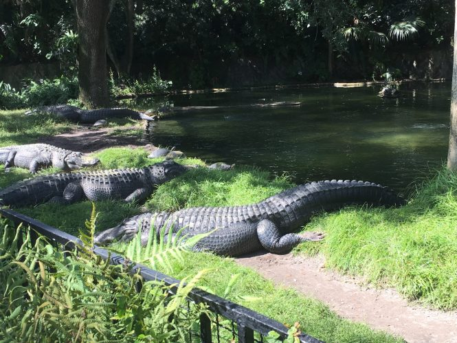 Busch Gardens Alligators