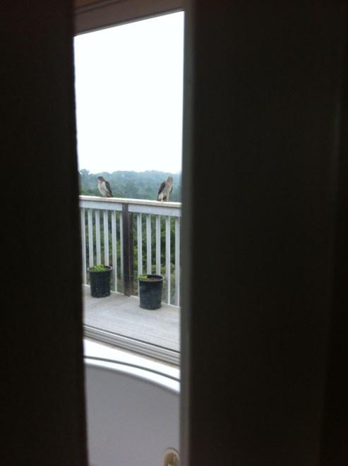 Fledgling Cooper's hawks